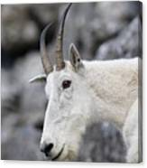 Mountain Goat At Rest Canvas Print