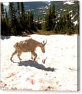 Mountain Goat Crossing A Snow Patch Canvas Print