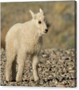 Mountain Goat Kid Canvas Print