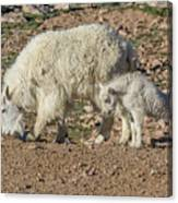 Mountain Goat Kid Stretches By Mom Canvas Print