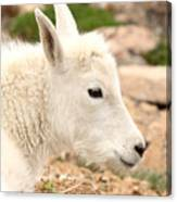 Mountain Goat Kid With Peaceful Gaze Canvas Print
