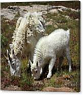 Mountain Goat Nanny And Kid Foraging At Columbine Lake - Weminuche Wilderness - Colorado Canvas Print