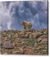 Mountain Goat Overlook Canvas Print