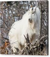 Mountain Goat Pride Canvas Print
