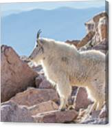 Mountain Goat Takes In Its High Altitude Home Canvas Print