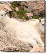 Mountain Goat Twins Canvas Print