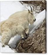 Mountain Goat With Grace Canvas Print