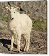 Mountain Goat Yearling Canvas Print