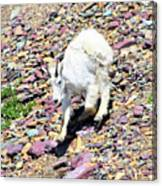 Mountain Goat3 Canvas Print