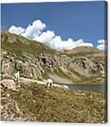 Mountain Goats At Columbine Lake - Weminuche Wilderness - Colorado Canvas Print