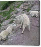 Mountain Goats Canvas Print