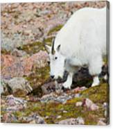 Mountain Goats On Mount Bierstadt In The Arapahoe National Fores Canvas Print