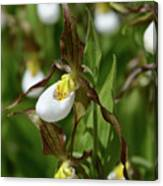 Mountain Lady Slippers Up Close Canvas Print