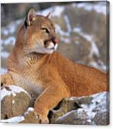 Mountain Lion On Snow-covered Rock Outcrop Canvas Print
