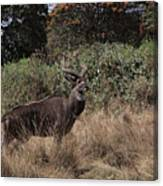Mountain Nyala Canvas Print