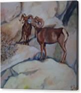 Mountain Sheep Gab Session Canvas Print