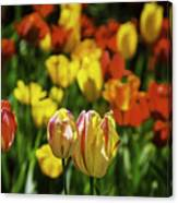 Mountain Tulips Canvas Print