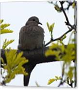 Mourning Dove 2 Canvas Print
