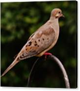 Good Morning Mourning Dove  Canvas Print