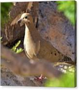 Mourning Dove On The Hillside Canvas Print