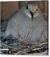 Mourning Dove With One Of Two Chicks Canvas Print