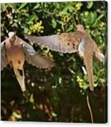 Mourning Doves Wings  Canvas Print