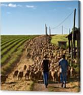 Moving The Sheep Canvas Print