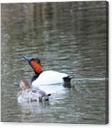 Mr And Mrs Canvasback Canvas Print