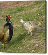 Mr And Mrs Pheasant Canvas Print
