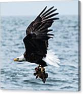 Mr. Bald Eagles Catch Canvas Print
