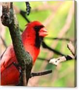 Mr Cardinal Canvas Print