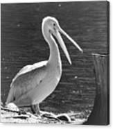 Mr Pelican Canvas Print