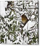 Mrs Cardinal In The Jasmine Canvas Print