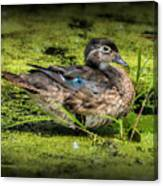 Ms. Wood Duck Canvas Print