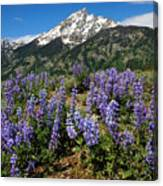 Mt. Teewinot And Lupine Canvas Print