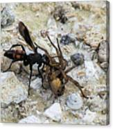Mud Dauber Wasp And Prey Canvas Print