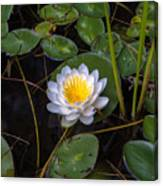 Mudd Pond Water Lily Canvas Print