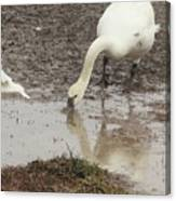 Muddy Tundra Swan Canvas Print