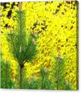 Mugo Pine And Forsythia Canvas Print
