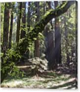 Muir Wood Canvas Print