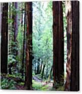 Muir Woods 1 Canvas Print