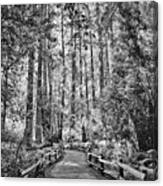 Muir Woods Bw Canvas Print