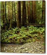 Muir Woods Sentinels Canvas Print
