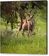 Mule Buck Deer Canvas Print