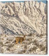 Mule Deer Buck In Winter Sun Canvas Print