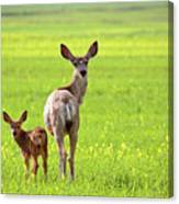 Mule Deer Doe And Fawn Looking Back Over Their Shoulders Canvas Print