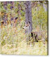 Mule Deer Doe In The Pike National Forest Canvas Print