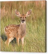 Mule Deer Fawn Is All Ears Canvas Print
