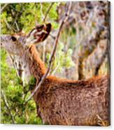 Mule Deer Foraging On Pine On A Colorado Spring Afternoon Canvas Print