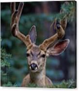 Mule Deer In Velvet 02 Canvas Print